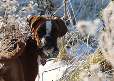 boxer i frostvejr