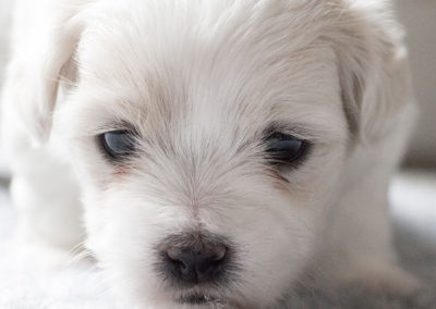 coton de tulear baromalou dakota moonlight
